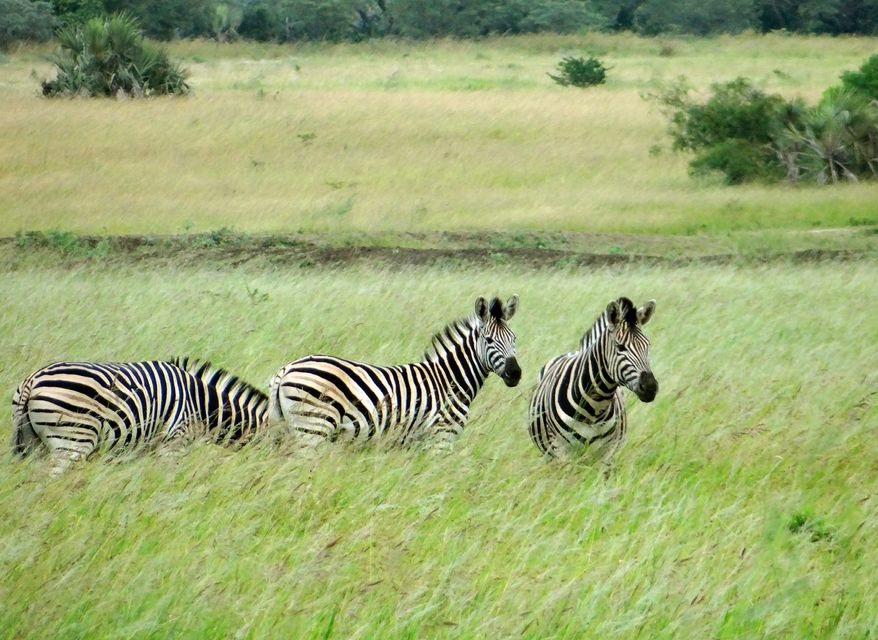 Zebras graze in the Phinda Private Game Reserve in South Africa, where the animals roam freely and guests get close-up looks during four-hour game rides. (Associated Press)