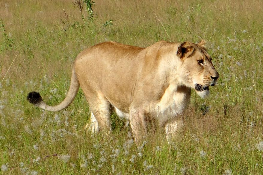 ** FILE ** A lioness walks through the tall grass in the Phinda Private Game Reserve, near the town of Hluhluwe, in Kwazulu-Natal province, South Africa. (AP Photo/Matthew Craft)