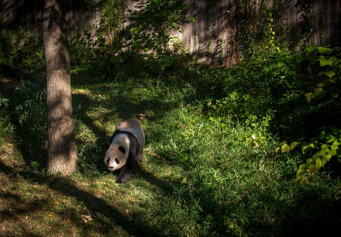 Giant panda Tian Tian wanders in his area at the National Zoo in Washington, D.C., on Oct. 10, 2012, prior to a press conference regarding the cause of the recent death of a newborn panda. (Rod Lamkey Jr./The Washington Times)
