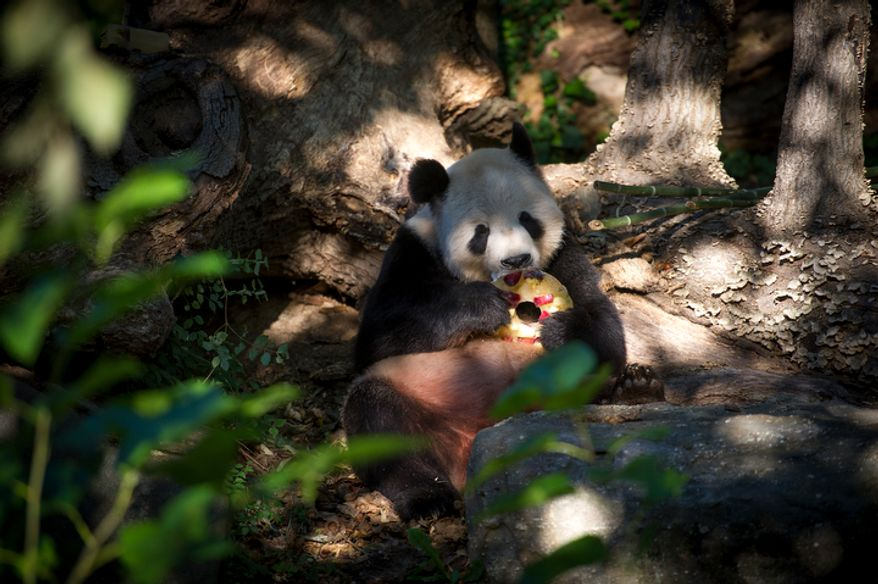 Giant panda Tian Tian eats a frozen fruit treat in his area at the National Zoo in Washington, D.C., on Oct. 10, 2012, prior to a press conference regarding the cause of the recent death of a newborn panda. (Rod Lamkey Jr./The Washington Times)