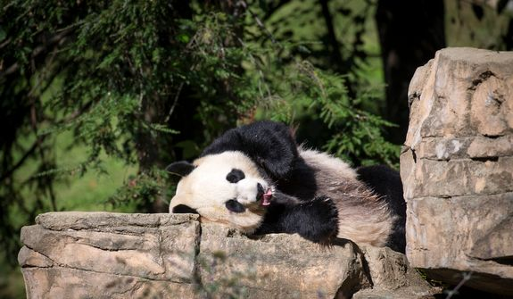 Giant panda Mei Xiang relaxes in the sun in her area at the National Zoo in Washington, D.C., on Oct. 10, 2012, prior to a press conference regarding the cause of the recent death of the panda's newborn cub. (Rod Lamkey Jr./The Washington Times)