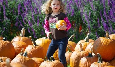 Kaylei Pitts, 4, of South Riding, Va., searches for the perfect pumpkin with her father Russell Pitts (not pictured) during the Cox Farms Fall Festival at Cox Farms in Centreville,Va., Sunday, Oct. 14, 2012. (Rod Lamkey Jr./The Washington Times)