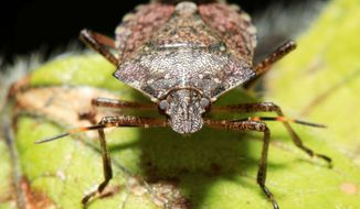 Brown marmorated stink bugs will be looking for warmth inside homes as the weather cools. Besides being household pests, the bugs attack fruit crops and could cause considerable damage to mid-Atlantic farms next spring. They also have shown up in Oregon orchard areas, where they could threaten the wine crop. (Associated Press)
