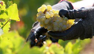 A worker picks white grapes in the vineyards of the Chateau Haut Brion, a Premier Grand Cru des Graves, during the harvest in the Pessac-Leognan region near Bordeaux, France, on Tuesday, Sept. 4, 2012. (AP Photo/Bob Edme)
