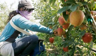 Irma Pena picks gala apples at Zag Orchards in Finley, Wash., in August. Washington is likely to have a harvest of 108 million bushels, its second highest number on record. (Associated Press)