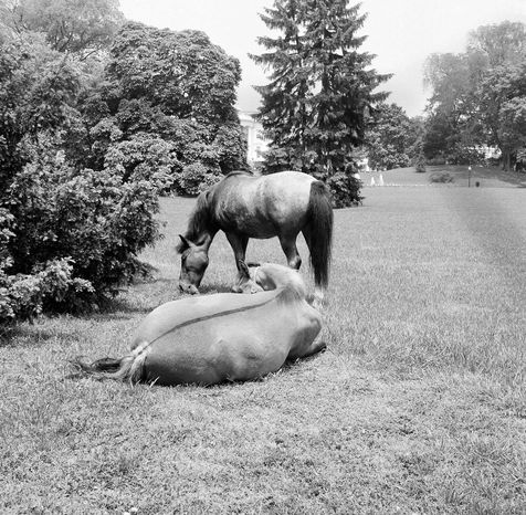 Macaroni, standing, and Tex, Caroline Kennedy's ponies take life ease on the South Lawn grounds of the White House in Washington on May 17, 1962.  Caroline and her friends frequently ride in the area. (AP Photo)