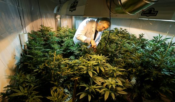 Jake Dimmock, co-owner of the Northwest Patient Resource Center medical marijuana dispensary, works on Nov. 7, 2012, with flowering plants in a grow room in Seattle. (Associated Press)