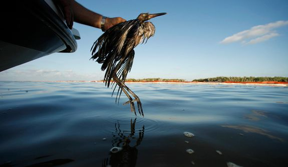 Plaquemines Parish Coastal Zone Director P.J. Hahn rescues a heavily oiled bird from the waters of Barataria Bay, which are laden with oil from the Deepwater Horizon oil spill, in Barataria Bay, La., on June 26, 2010. (AP Photo/Gerald Herbert)