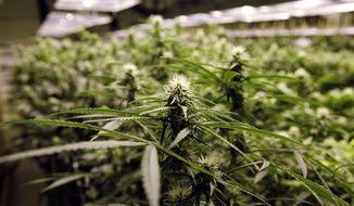 ** FILE ** Marijuana plants flourish under the lights at a grow house in Denver on Thursday, Nov. 8, 2012. (AP Photo/Ed Andrieski)