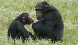 **FILE** Chimpanzees sit in an enclosure at the Chimpanzee Eden rehabilitation center near Nelspruit, South Africa, on Feb. 1, 2011. (Associated Press)