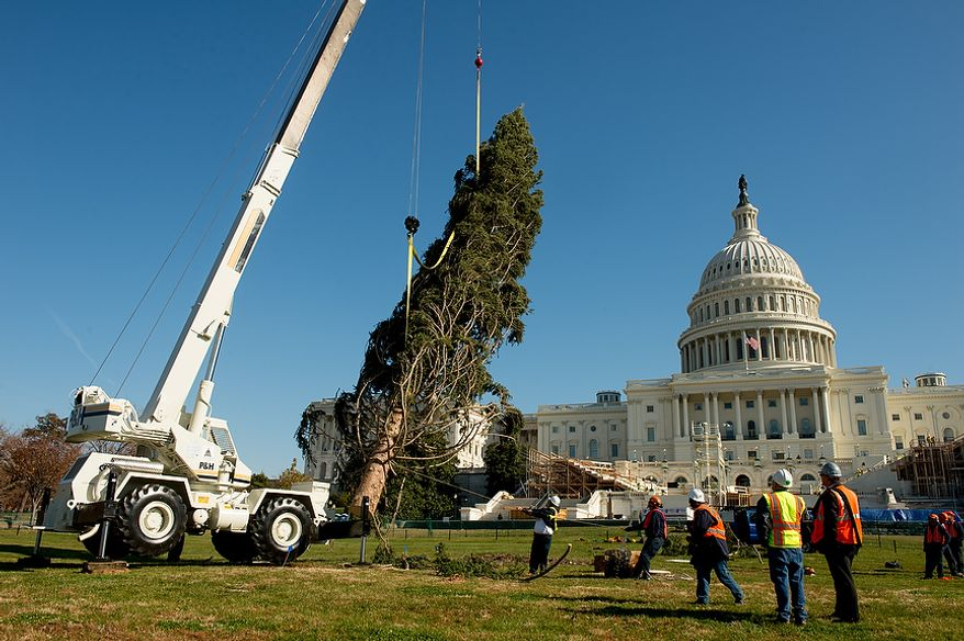 A 9,000-pound, 74-year-old, 73-foot Engelmann spruce, driven 5,500 miles from White River National Forest in Meeker, Colo., is moved into position on the West Lawn of the U.S. Capitol as this year's Capitol Christmas Tree, in Washington on Monday, Nov. 26, 2012. (Andrew Harnik/The Washington Times)