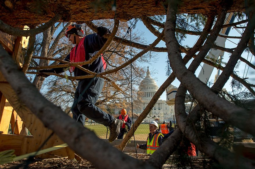 Workers begin to unhook a 9,000-pound, 74-year-old, 73-foot Engelmann spruce, driven 5,500 miles from White River National Forest in Meeker, Colo., on the West Lawn of the U.S. Capitol as this year's Capitol Christmas Tree, in Washington on Monday, Nov. 26, 2012. (Andrew Harnik/The Washington Times)