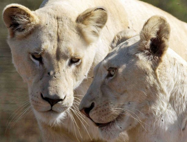 Natal Lion Park in Camperdown, near Durban, South Africa, is a haven for lions and other animals native to Africa. The lion population in the wild is decreasing.