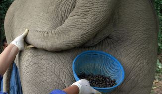 A Thai mahout's wife jokingly poses with a plastic basket containing coffee beans freshly cleaned from elephant dung below the tail of an elephant in the Chiang Rai province of northern Thailand on Dec. 4, 2012. A Canadian entrepreneur has teamed up with a herd of 20 elephants, gourmet roasters and one of the country's top hotels to produce Black Ivory Coffee, a new blend from the hills of northern Thailand and the excrement of elephants which ranks among the world's most expensive cups of coffee. (Associated Press)
