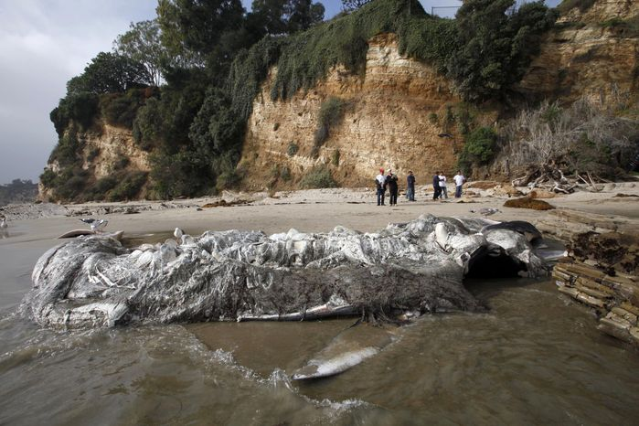 People look at a dead young male fin whale that washed up Monday between the Paradise Cove and Point Dume areas of Malibu, Calif. on Thursday, Dec. 6, 2012. The rotting carcass near celebrity homes is causing a gigantic cleanup problem as authorities try to decide who's responsible for getting rid of it. Los Angeles County lifeguards planned to try to pull the 40,000-pound carcass out to sea, perhaps at high tide Thursday, said Cindy Reyes, executive director of the California Wildlife Center. (AP Photo/Nick Ut)