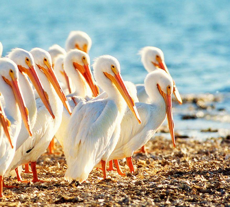 White pelicans soak up the sun on Sanibel Island in Florida. (Sanibel & Captiva Chamber of Commerce photographs)