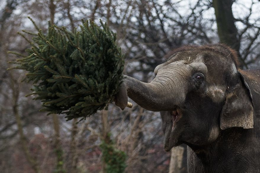 An elephant holds a Christmas tree on Jan. 4, 2013, at the Berlin Zoo at the launch of the annual feeding of Christmas trees. (Associated Press)