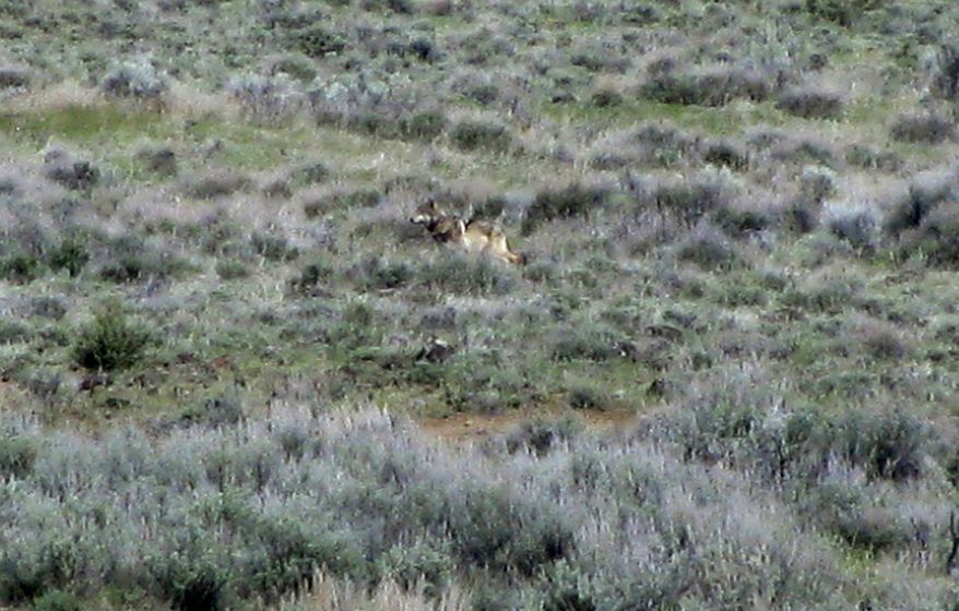 OR-7, the Oregon wolf that has trekked across two states looking for a mate, is pictured on a sagebrush hillside in Modoc County, Calif., on Tuesday, May 8, 2012. (AP Photo/California Department of Fish and Game)