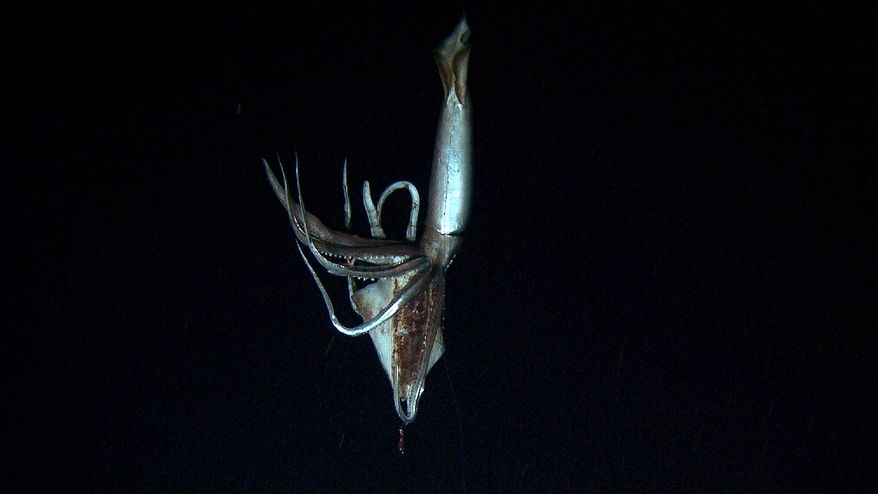 A 9-foot giant squid takes the bait in the deep sea off Japan's Chichi island in this image made from video recorded in the summer of 2012. (AP Photo/NHK/NEP/Discovery Channel)