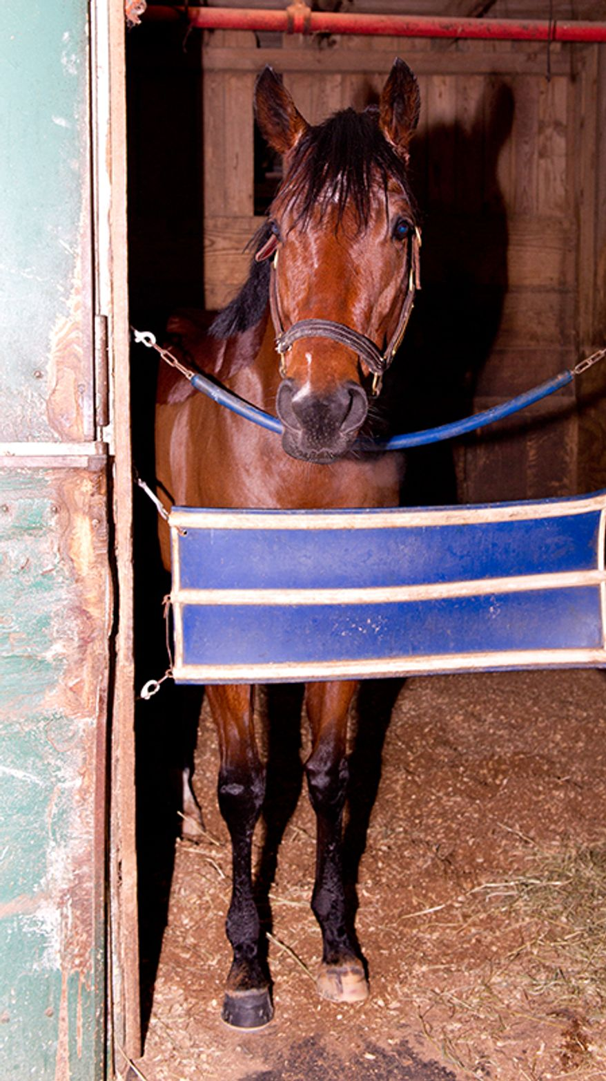 Bullet Catcher was uninjured after escaping from Laurel Park on Jan. 11, 2013 and going for a 1.6-mile run down Route 1. (Photo courtesy Maryland Jockey Club