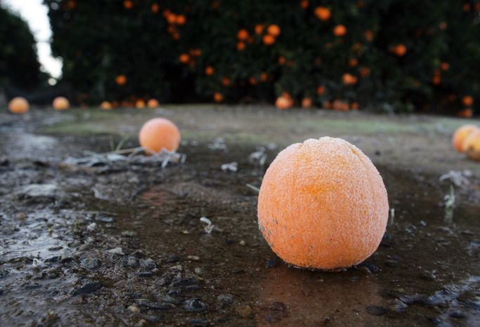 A frost-covered orange lies on the ground in an orchard near Sanger, Calif., on Saturday, Jan. 12, 2013, after a night of freezing temperatures. (AP Photo/The Fresno Bee, Craig Kohlruss)