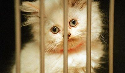 A kitten looks out of her small cage at the Prince William County Animal Shelter in Manassas, Va. (The Washington Times)