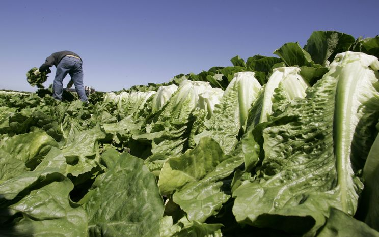 A worker harvests romaine lettuce in Salinas, Calif., in 2007.