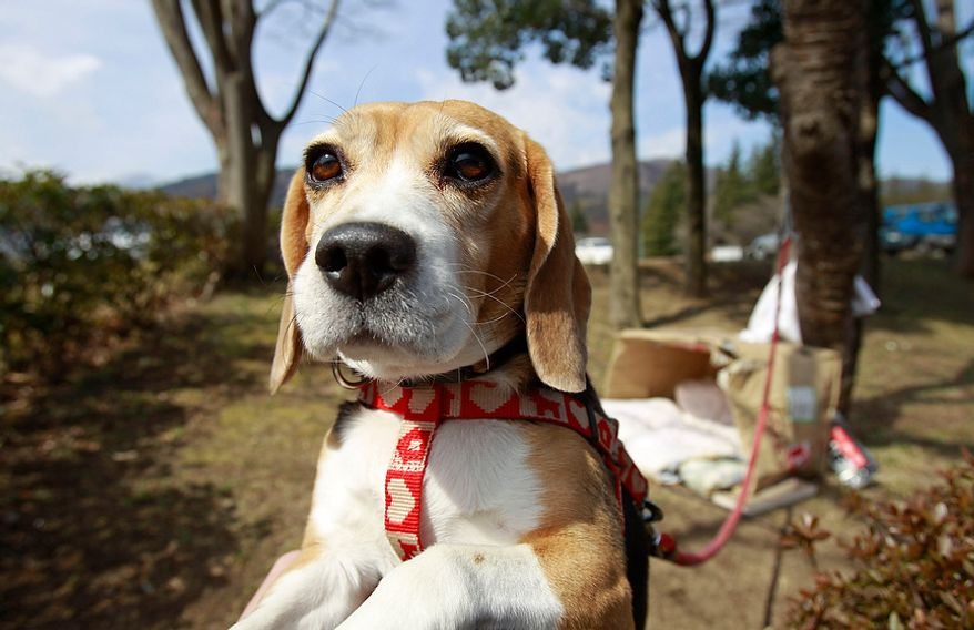 Luna, a beagle, is tied to a tree near her makeshift house at an evacuee center, Thursday, March 24, 2011, in Fukushima, Fukushima prefecture, Japan. Japan, famous for drilling its citizens on how to prepare for all manner of natural disasters, has done far less to prepare those who live near its many nuclear reactors for emergencies. (AP Photo/Wally Santana)
