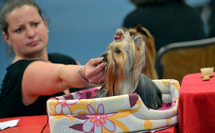 A Yorkshire Terrier is inspected by his master for his contest at the dog show in Dortmund, Germany, Friday, May 11, 2012. (AP Photo/Martin Meissner)