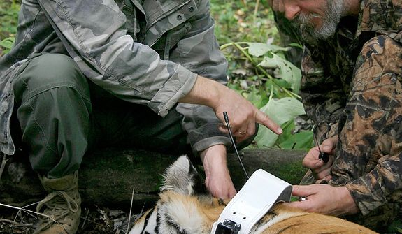 File - In this file photo taken on Sunday, Aug. 31, 2008, Prime Minister Vladimir Putin locks a collar with a satellite tracker on the tranquilized five-year-old Ussuri tiger in a Russian Academy of Sciences reserve in Russia's Far East as he took a part in the national program for preserving the population of the Ussuri tiger conducted by researchers of the Russian Academy of Sciences. Animal-loving Prime Minister Vladimir Putin has been accused of staging his famous encounter with a tigress three years ago. St. Petersburg-based environmentalists Dmitry Molodtsov says that photos of the animal that Putin tagged with a GPS collar in 2008 and subsequent images of what preservationists claimed was the same tigress in fact showed two different animals, indicating that Putin's tigress never was let out into the wild. Molodtsov claimed Friday that Putin's tigress was borrowed from a local zoo for the occasion.  A coordinator at the government-funded Amur tiger conservation project dismissed his claim as untrue.(AP Photo / RIA-Novosti, Alexei Druzhinin, Pool)