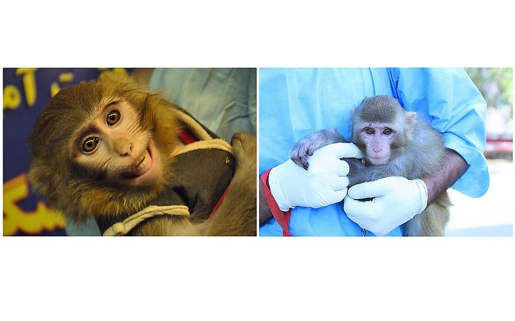 COMBO - This combination of two photos obtained from the Iranian Students News Agency, ISNA, shows, left, an Iranian technician holding a monkey that Iran claims rode an Iranian rocket into space, in Tehran, Iran, Wednesday, Jan. 30, 2013, and right, an undated image of an Iranian technician holding a monkey which had been prepared to ride an Iranian rocket into space, in an undisclosed location in Iran. One of two official packages of photos of Iran's famed simian space traveler released to media depicted the wrong monkey--with a distinctive mole over its right eye--but a senior Iranian space official confirmed Saturday that a primate really did fly into space and returned safely to Earth. (AP Photo/ ISNA, Borna Ghasemi, Mohammad Agah)