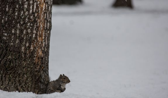 A squirrel takes shelter from the snow under a tree in Fairfax, Va., on March 6, 2013. (Andrew S. Geraci/The Washington Times)