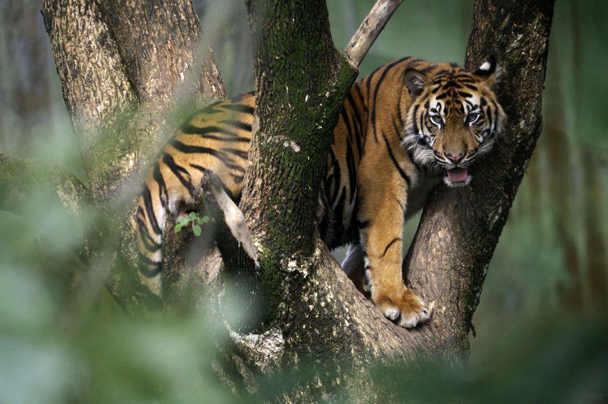 ** FILE ** A Sumatran tiger perches in a tree at a zoo in Medan, Indonesia, on North Sumatra, on Nov. 13, 2012. (AP Photo/Binsar Bakkara)