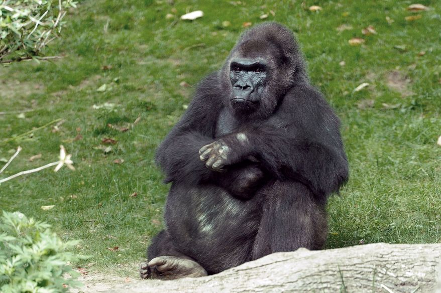 Pattycake, the first gorilla born in New York City, has died at the Bronx Zoo. She was 40 years old and suffered from chronic cardiac problems. (AP Photo/Wildlife Conservation Society, Julie Larsen Maher)
