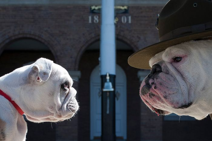 Sgt. Chesty XIII, official mascot of the U.S. Marine Corps, right, stares down his successor Recruit Chesty, left, during training at Marine Barracks Washington, D.C., March 20. (Official Marine Corps photo by Sgt. Dengrier Baez).
