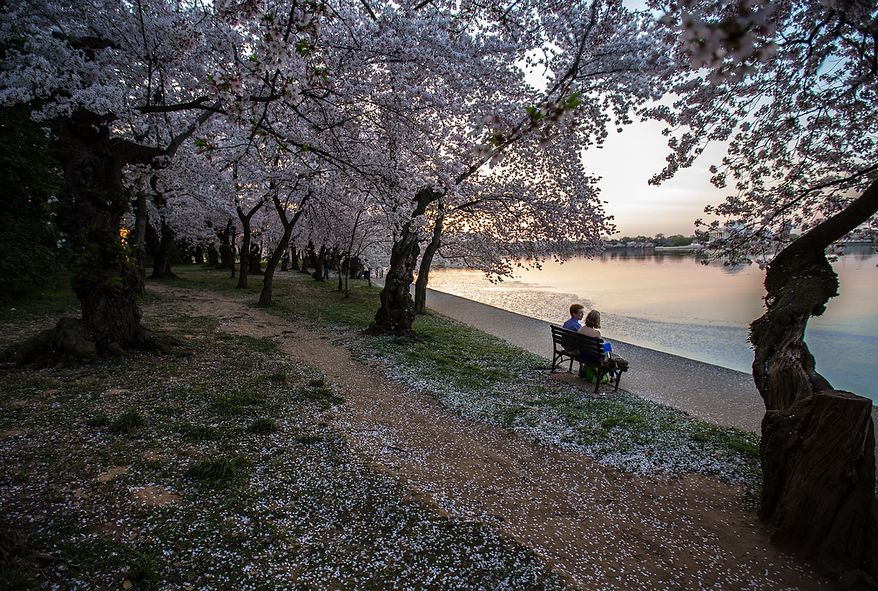 A couple sits on a bench to watch the sun slowly rises on the cherry blossoms at the Tidal Basin in Washington, DC., Thursday, April 11, 2013. (Andrew S Geraci/The Washington Times)