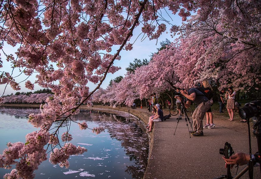 Photographers flock to the tidal basin to photograph the morning sun reflecting off of the water into the cherry blossoms, in Washington, DC., Thursday, April 11, 2013. (Andrew S Geraci/The Washington Times)