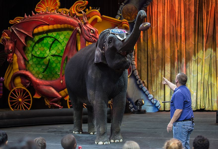 Kelly Anne, a 17 year old Asian elephant, with the Ringling Brothers, catches a football with her trunk during a performance for children, at the George Mason University Patriot Center, in Fairfax, VA., Thursday, April 11, 2013. (Andrew S Geraci/The Washington Times)