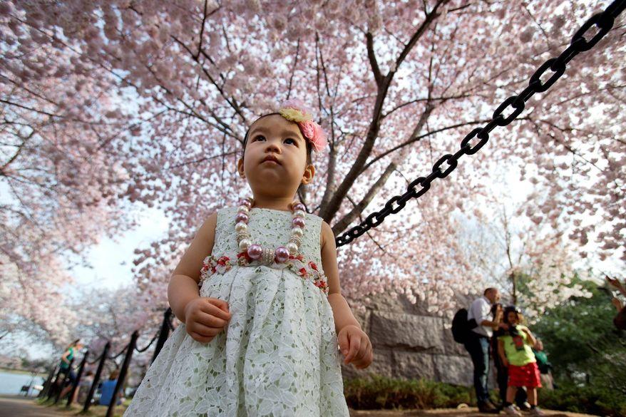 Ellie Sakilayan, 1, of Arlington, Va., looks up at a canopy of blooming cherry blossoms along the Tidal Basin in Washington, on Monday, April 8, 2013. (AP Photo/Jacquelyn Martin)