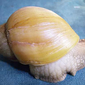 This image from the U.S. Department of Agriculture shows a giant African snail with an albino shell. (Courtesy of the USDA)