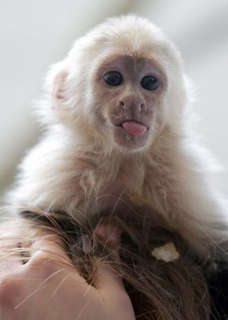 """Capuchin monkey """"Mally"""" sits on the head of an employee in an animal shelter in Munich on April 2, 2013. Canadian singer Justin Bieber had to leave the monkey March 28 in quarantine after arriving in Munich without the necessary documents for the animal. (Associated Press)"""