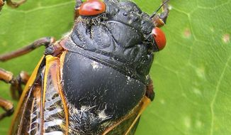 Any day now, cicadas with bulging red eyes will creep out of the ground after 17 years and overrun the East Coast with the awesome power of numbers. (AP Photo/University of Connecticut, Chris Simon)
