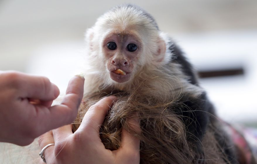 Pop singer Justin Bieber's capuchin monkey, Mally, sits on the head of an employee at an animal shelter in Munich on Tuesday, April 2, 2013. German customs placed the monkey in quarantine on March 28 when Mr. Bieber failed to produce required vaccination and import papers for the animal after landing in Munich. (AP Photo/Matthias Schrader)