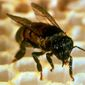 **FILE** This 1991 photo shows a close up of an Africanized honeybee or killer bee. (Associated Press)