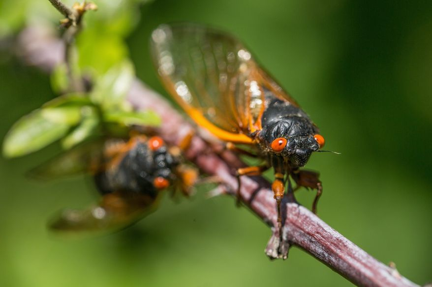 A cicada clings to a branch as it searches for a mate in Woodbridge, Va., on Tuesday.