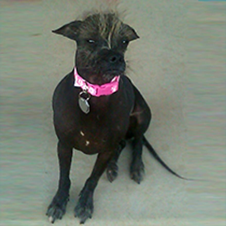 Cyndi. (Credit: World's Ugliest Dog Competition)