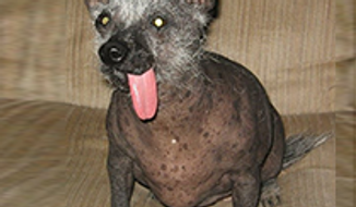 Ellie Mae is an 8y/o Chinese Crested Hairless Dog. (Credit: World's Ugliest Dog Competition)