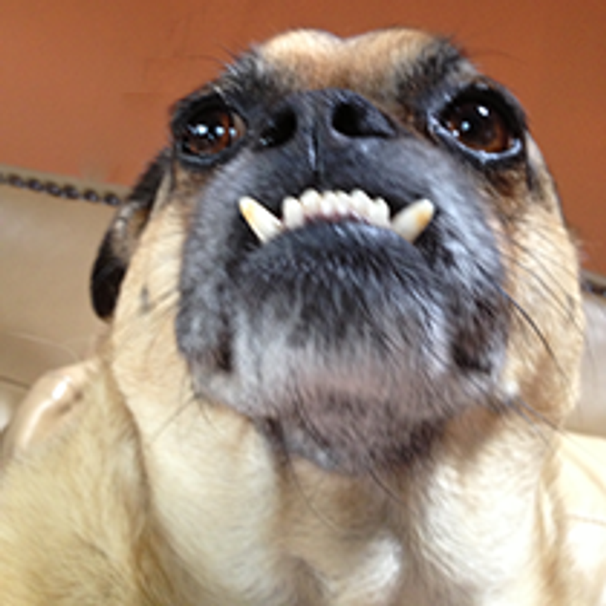 Gromit is a five year old Chug!!(1/2 Pug 1/2 Chihuahua). He loves food, watching T.V., and sunbathing his potbelly. (Credit: World's Ugliest Dog Competition)