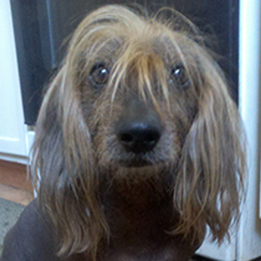 Isaboo is half wiener dog, and half BOOLAH! (Credit: World's Ugliest Dog Competition)