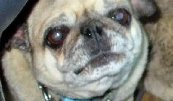 Kaiya is a ten year old female pug, This is her 2nd time showing her mug! (Credit: World's Ugliest Dog Competition)